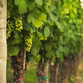 green grape vines in vineyard