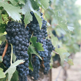 purple wine grapes on vine in vineyard